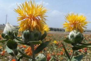 Сафлор – растение будущего?