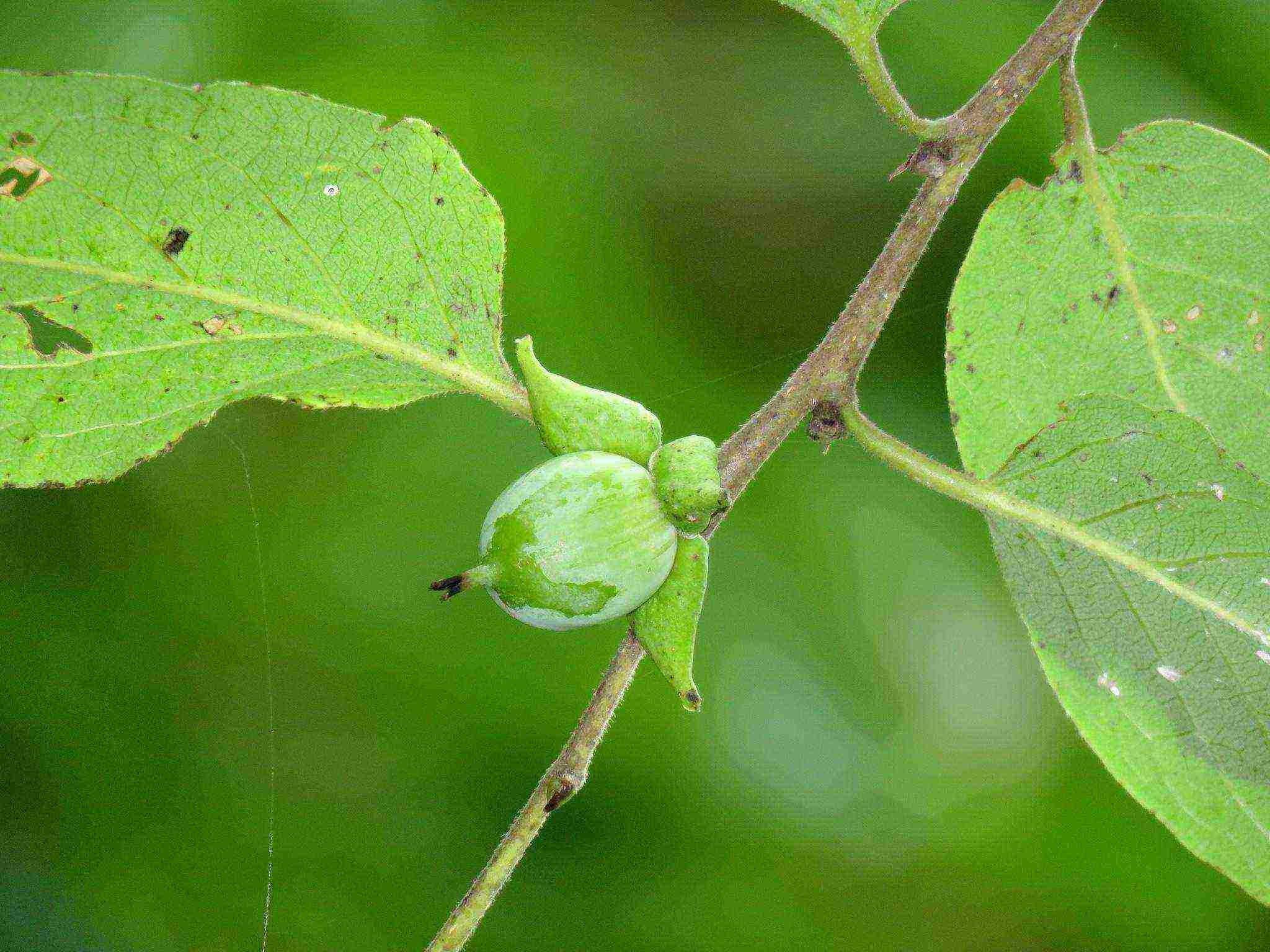 Саженцы хурмы: непростой выбор, но удачная посадка