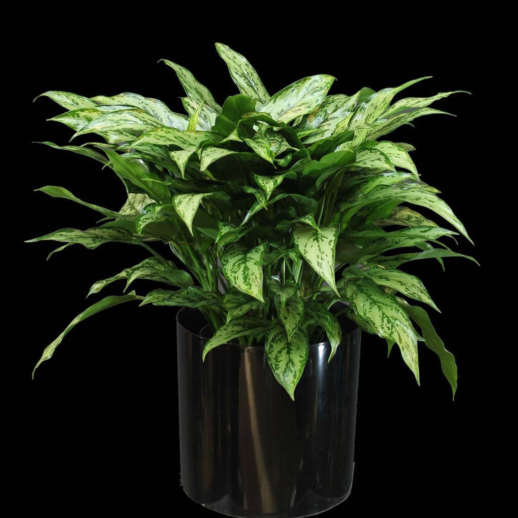 Тропическая красавица аглаонема: правила ухода и содержания