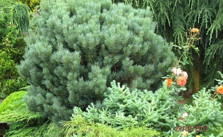 Эффектные сосны на участке — посадка, формирование, виды и сорта