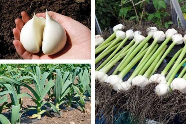 Рокамболь, агротехника выращивания, когда сажать детки, видео