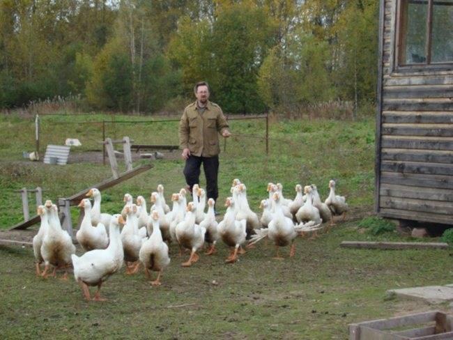 Содержание гусей — особенности и специфика ухода. рентабельность выращивания и рекомендации начинающим заводчикам (95 фото)
