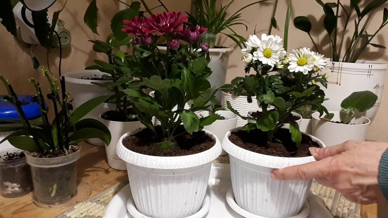 Уход за хризантемой мелкоцветковой низкорослой в домашних условиях