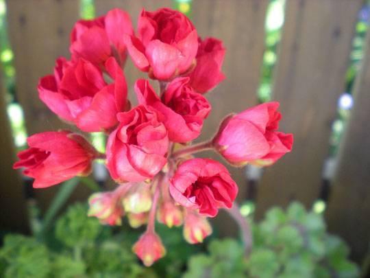 Прекрасная герань тюльпановидная — описание, сорта и их фото, уход и размножение в домашних условиях