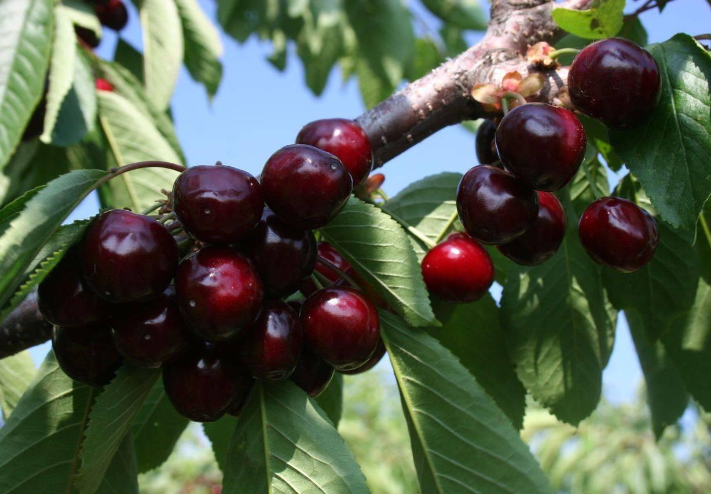 Черешня — подружка вишни