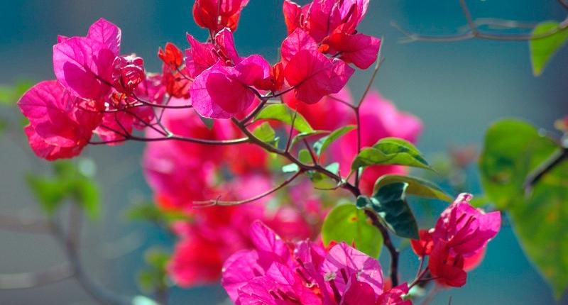 Очаровательная и неповторимая бугенвиллия садовая – отличный выбор для южных регионов