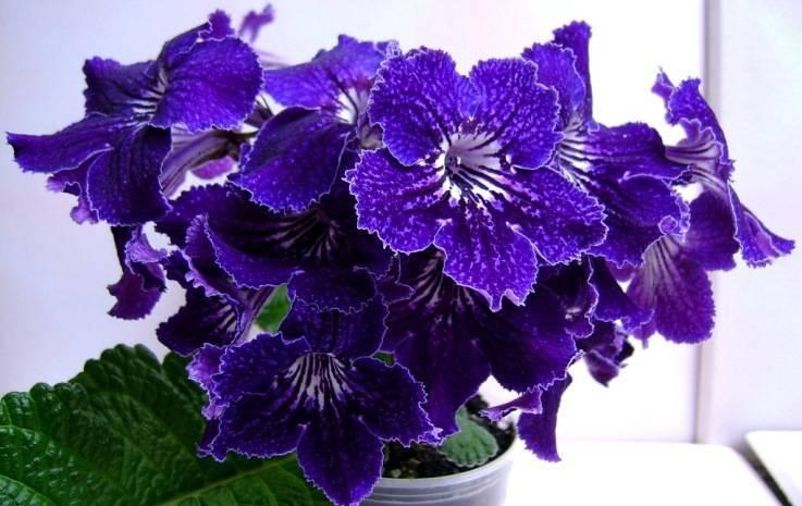 Особенности выращивания цветка стрептокарпуса в домашних условиях семенами