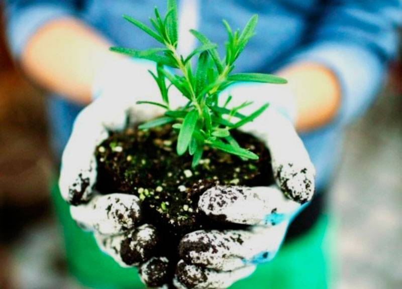 Розмарин: выращивание дома в горшке, уход и размножение