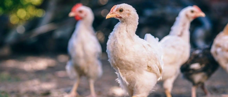 Учимся лечить кокцидиоз у цыплят самостоятельно