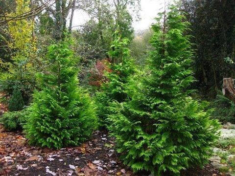 Кипарис — как выглядит на фото: выращивание в саду и в домашних условиях