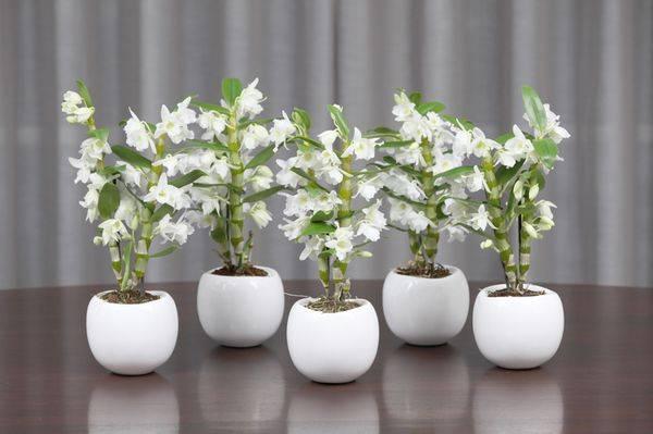 Тонкости пересадки орхидеи дендробиум в домашних условиях — инструкция и фото цветка