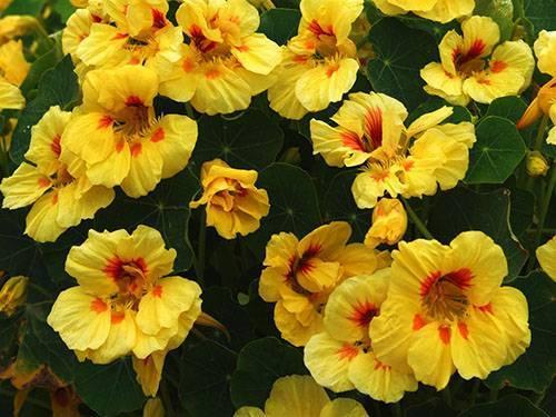 Настурция – выращивание и уход в саду