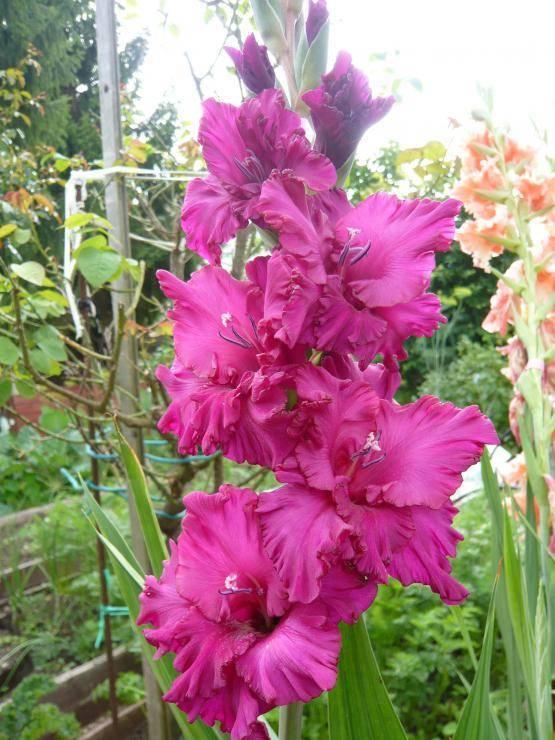 Подготовка луковиц гладиолусов к посадке весной: поэтапное руководство