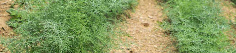 Всё, что нужно знать для получения хорошего урожая укропа. как и когда сажать растение семенами в открытый грунт?