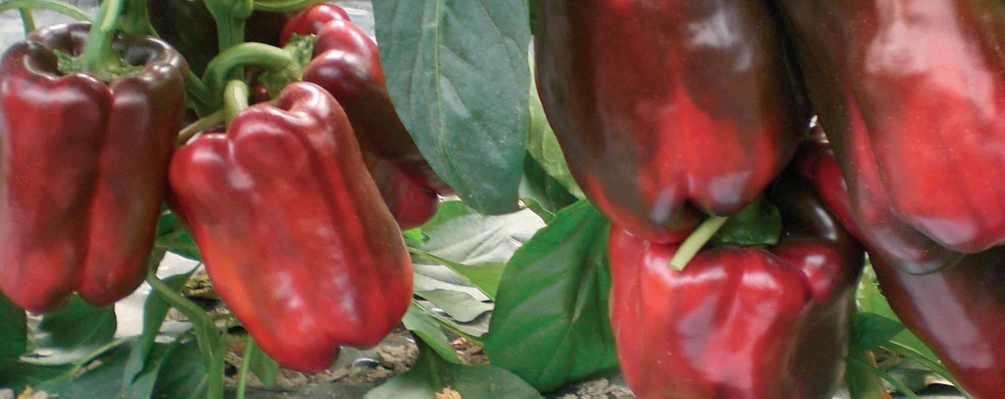 Теперь ем острый перец каждый день— сколько пользы в маленьком стручке