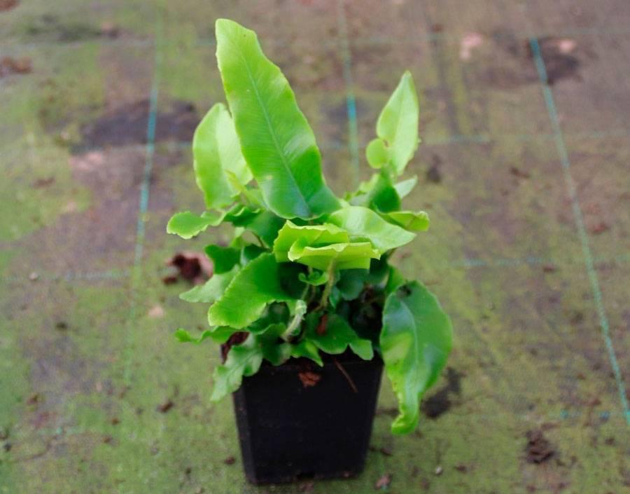 Асплениум – секреты выращивания роскошного папоротника