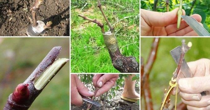 Прививка плодовых деревьев весной: способы и сроки прививки