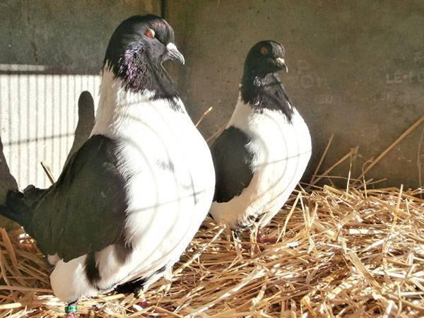 Как правильно содержать голубей в домашних условиях?