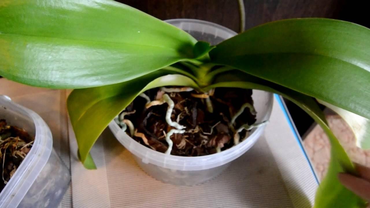 Главный вопрос: почему у орхидеи желтеют и опадают листья и что делать?