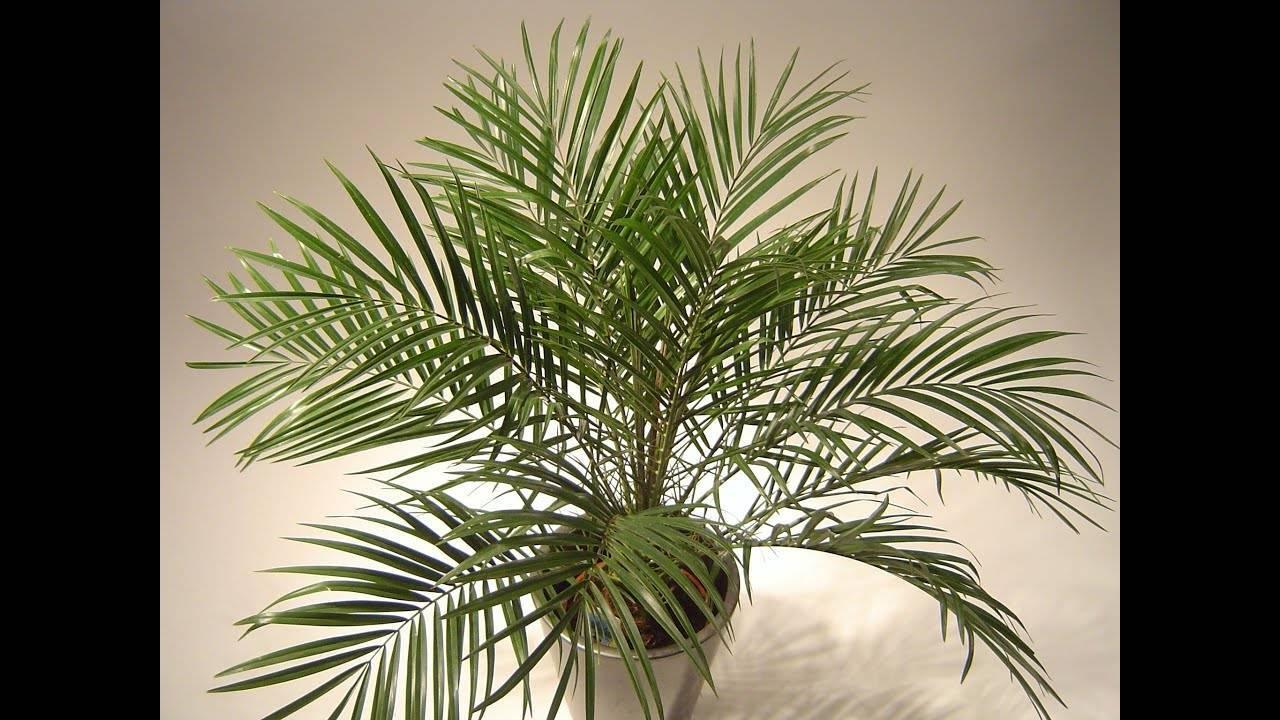 Как вырастить финиковую пальму из косточки и ухаживать за ней в домашних условиях?