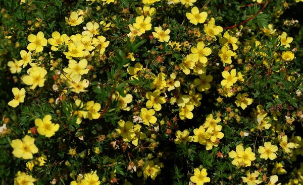 Величавое украшение дачного участка — золотые кудри лапчатки кустарниковой
