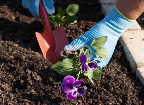 Выращивание цветка виола из семян. рекомендации по посадке на рассаду и высадке в грунт, популярные сорта