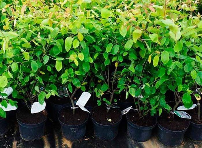 Юкка садовая: топ-130 фото + видео. условия для выращивания. рекомендации по уходу и лечению от опытных садоводов (юкка садовая от а до я)