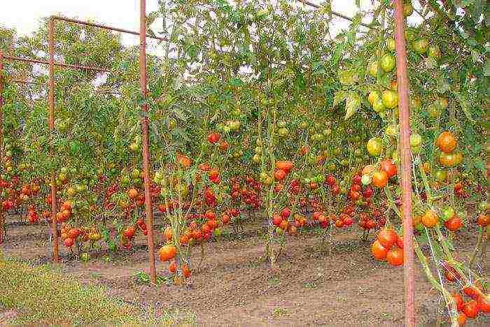 Способ выращивания помидоров в открытом грунте