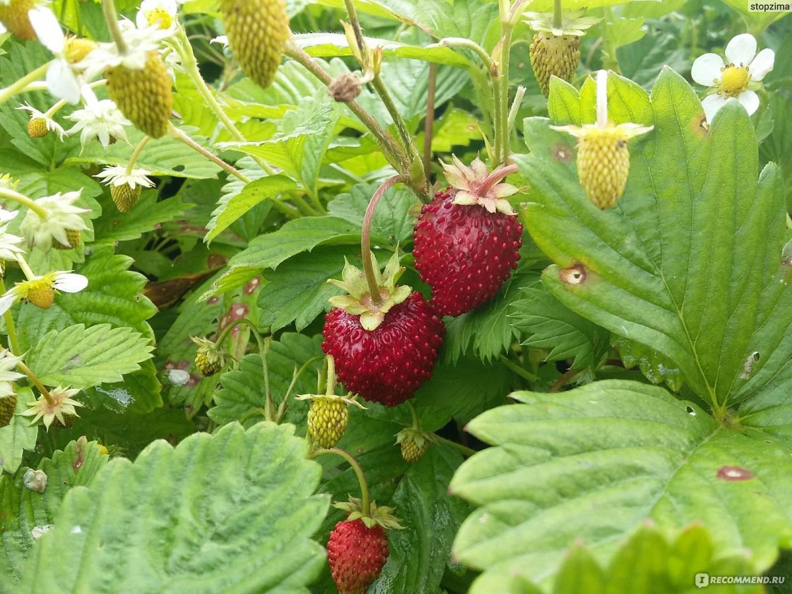 Земляника «барон солемахер»: выращивание из семян