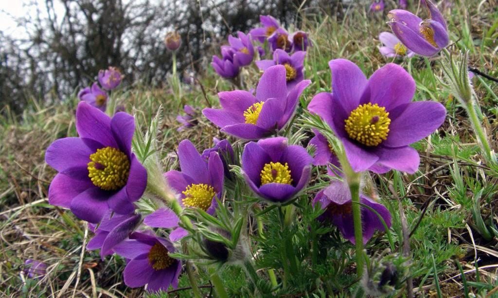 Прострел — «сон-трава»: посадка, выращивание и уход