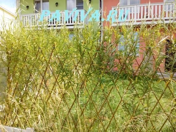 Посадка и формирование живой изгороди