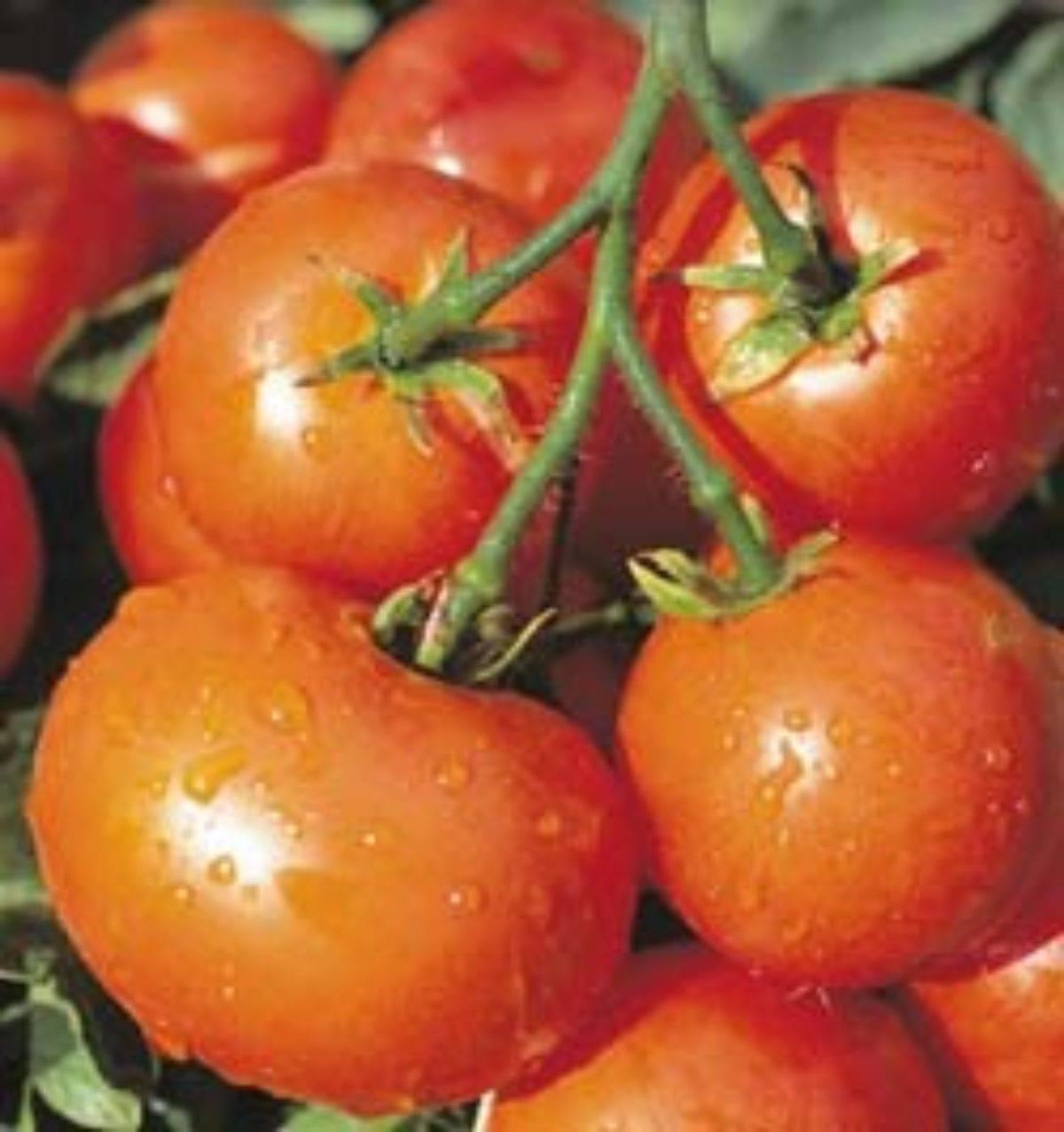 Растет на грядке томат дубрава дубок