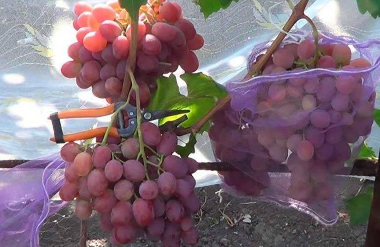 Сорт винограда «анюта» — характеристики, преимущества