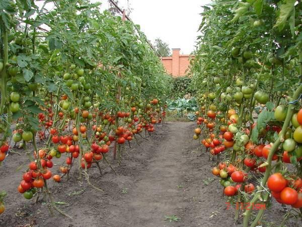 Выращивание помидоров в открытом грунте: секреты ухода