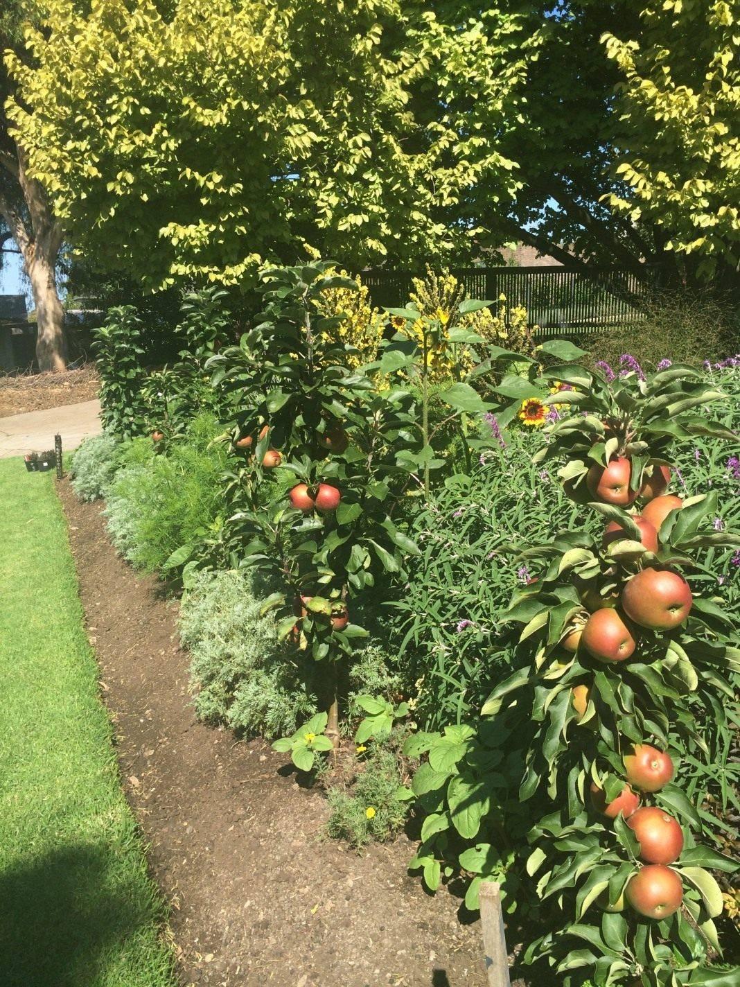 Колоновидные плодовые деревья найдут свое место в вашем саду