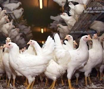 Как определить пол цыпленка и когда можно это делать