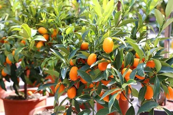 Кумкват: «золотой апельсин» — секреты выращивания в домашних условиях