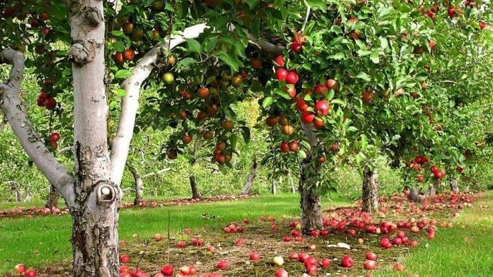 Серебряное копытце: описание, посадка и уход за яблоней