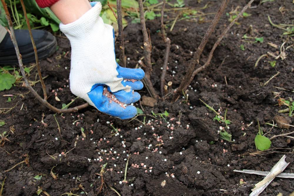 Вносим удобрения под крыжовник и смородину после сбора урожая
