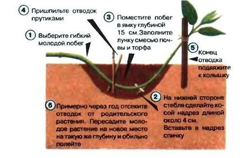 Размножение спиреи