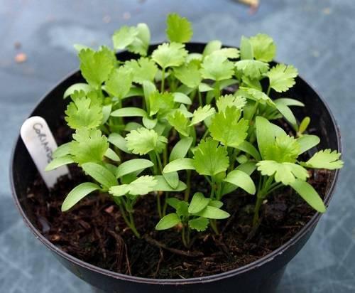 Особенности выращивания кинзы на подоконнике зимой