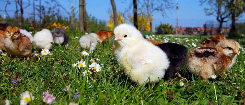 Понос у цыплят бройлеров: лечение и профилактика