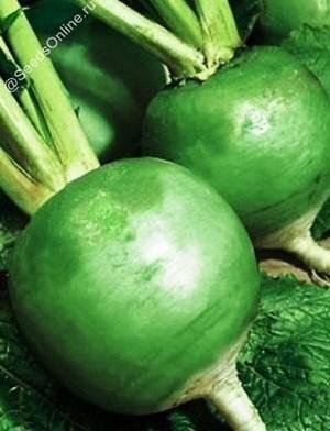 Выращивание зеленой редьки: выбор сорта и подготовка, а также, когда сажать и как это делать правильно?