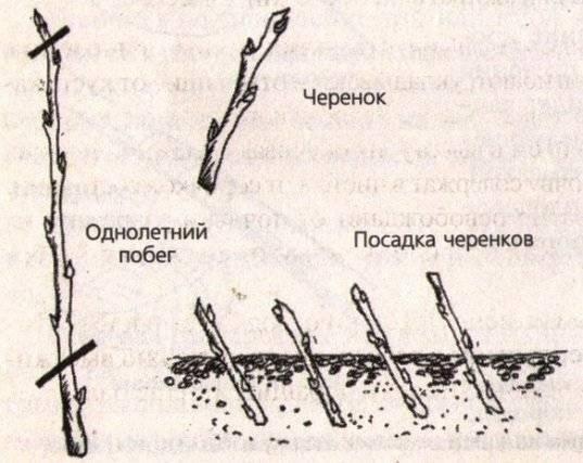 Два популярных способа размножения айвы: черенками и молодой порослью