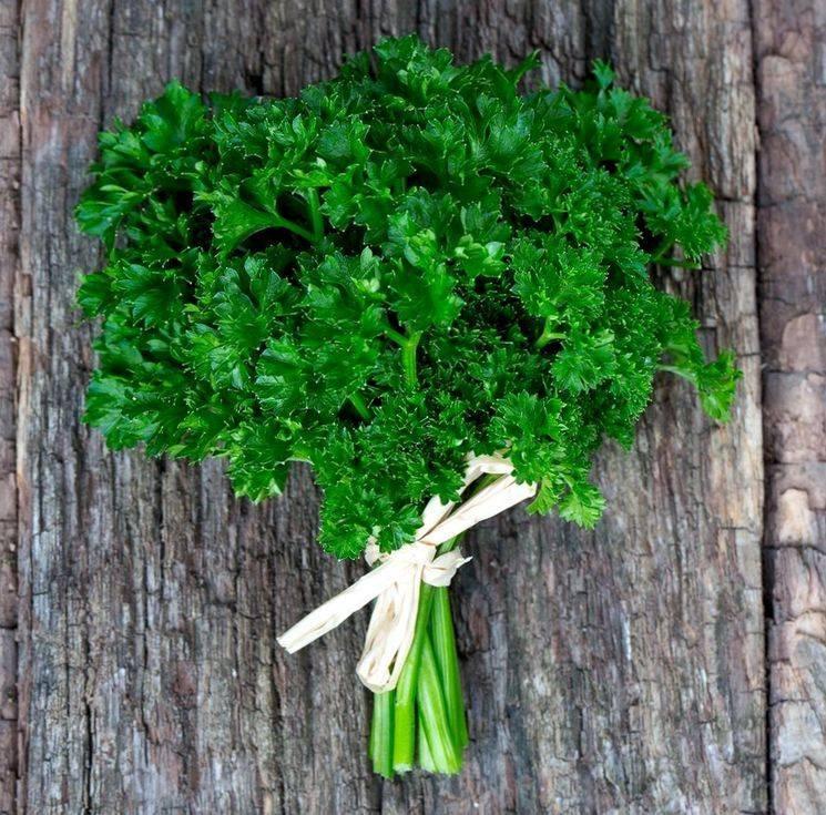 Петрушка - выращивание в открытом грунте