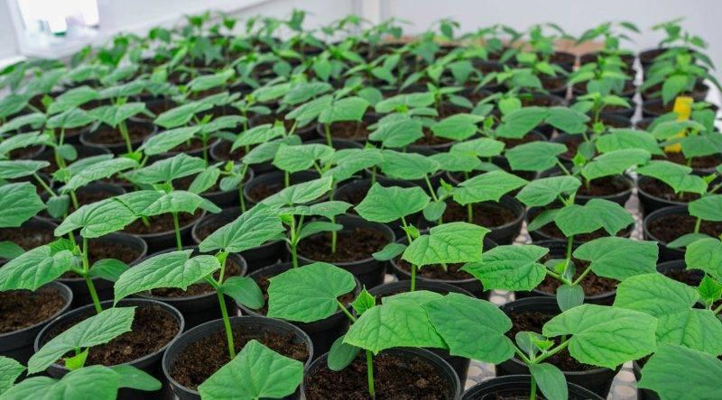 Посадка дыни на рассаду и выращивание в домашних условиях