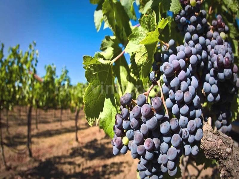 Выращивание и уход за виноградом на приусадебном участке