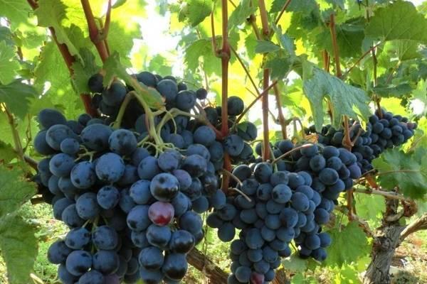 Виноград фуршетный – основные свойства, особенности посадки и 5 советов по уходу