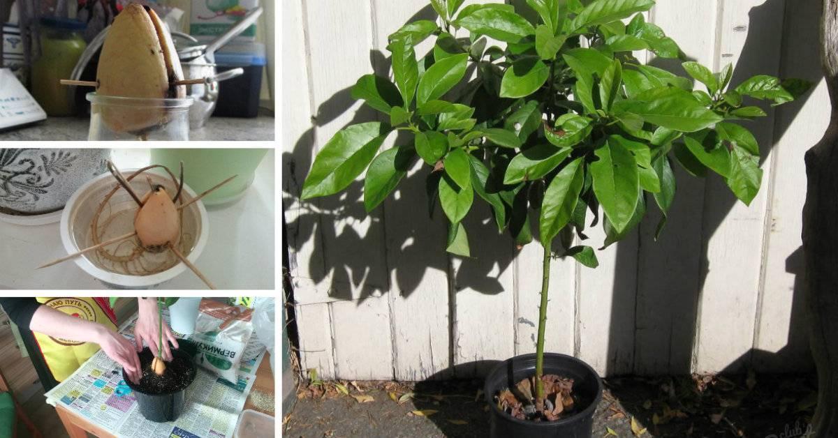 Как вырастить авокадо у себя дома