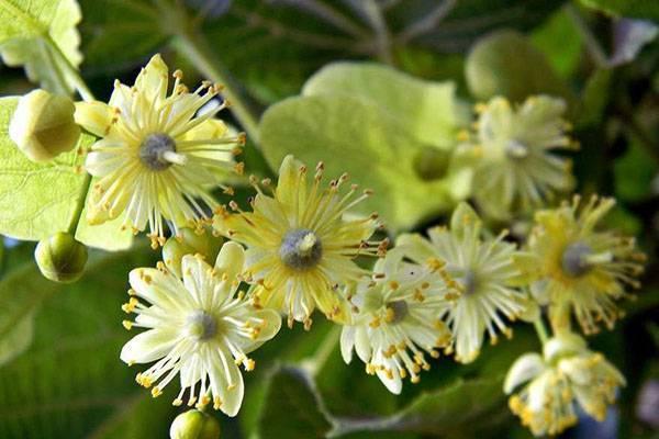 Цветки липы: полезные свойства для детей и взрослых, применение